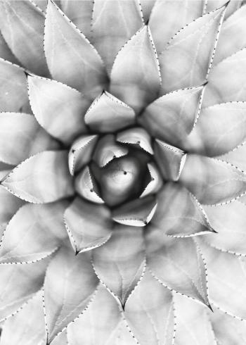 fotoplakat af sukkulent i sort hvid farver close-up