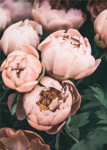pink peonies - skaber smukke rammer for din indretning