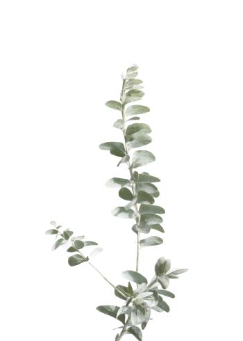 natur plakater med grøn Eukalyptus planate med hvid baggrund