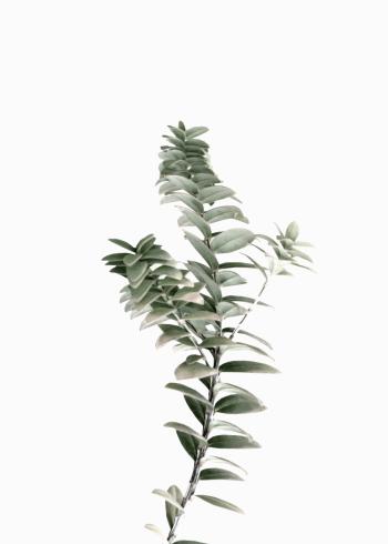 plakat grøn liguster gren med hvid baggrund