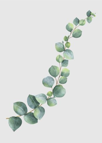 plakat med den grønne Eukalyptus plante