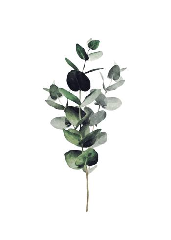 den populære plakat med eukalyptus