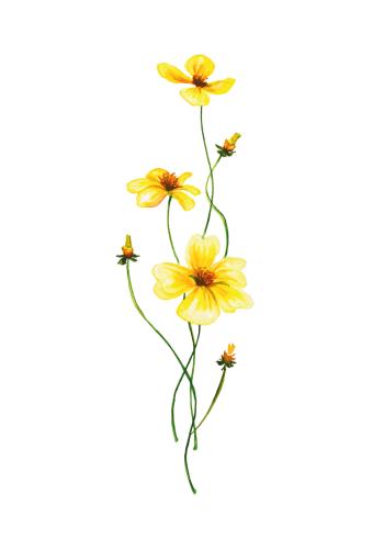 botaniske plakater med gule anemoner