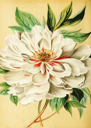 plante plant retro med hvide pæoner