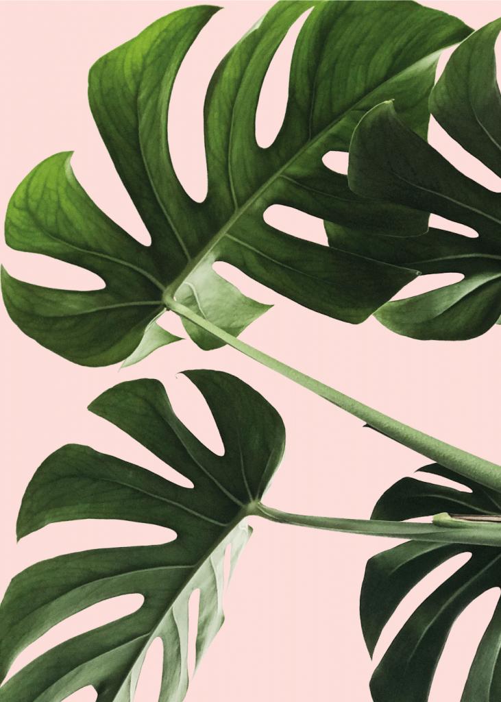 plante plakat med monstera blade og lyserød baggrund