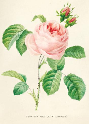 plante plakat med retro stil af lyserød rose