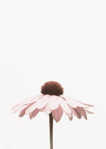 botaniske planter af smuk bellis blomst i lyserød