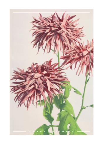 japanske fotokunst plakat med lyserøde krysantemum
