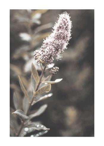 spirea blomst plakat
