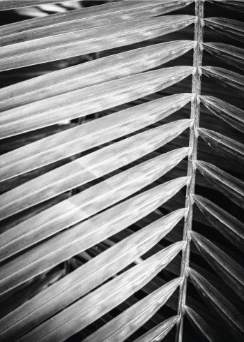 palme plakater sort hvid farver