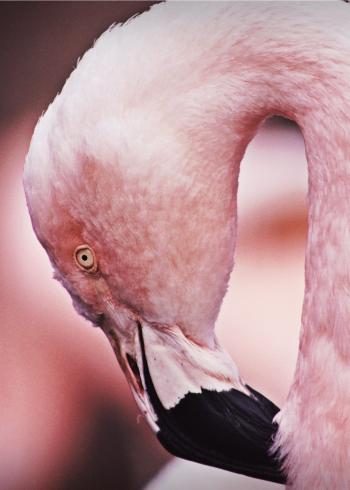 plakater med dyr foto af lyserød flamingo