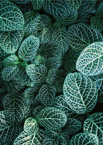 botanisk fittonia plakat med flotte grønne blade