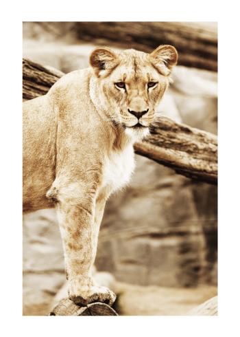tiger plakat i brunlige farver