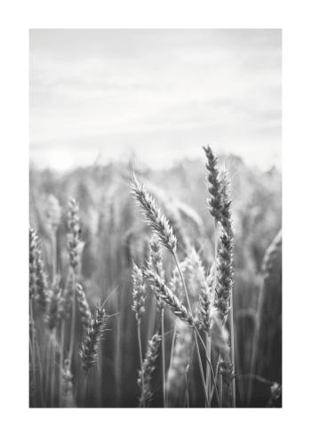 natur plakater og fotokunst med korn på marken
