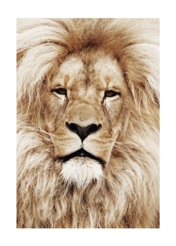 løve plakat i varme farver