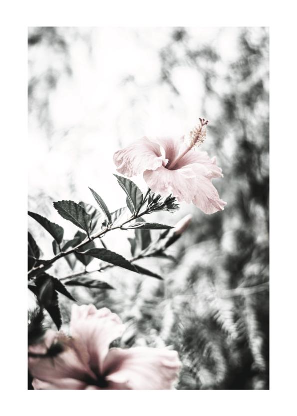 hibiscus blomst plakat