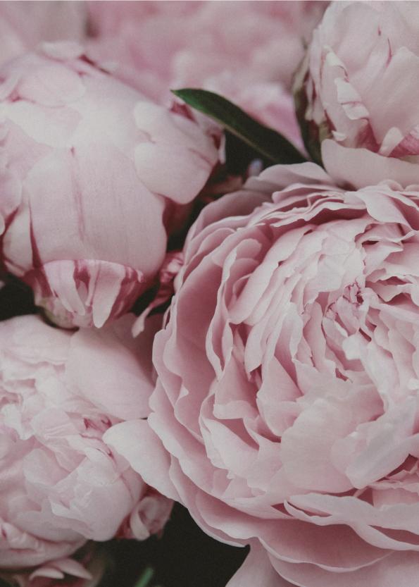 fotoplakat af lyserøde pæoner close-up