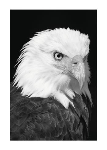 ørne plakat i sort hvid farver