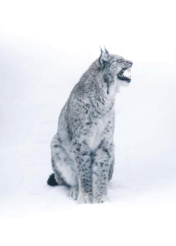 fotoplakat af en los eller en sne kat i grå toner