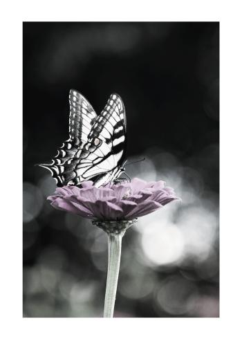 sommerfugl plakat i lilla blomst