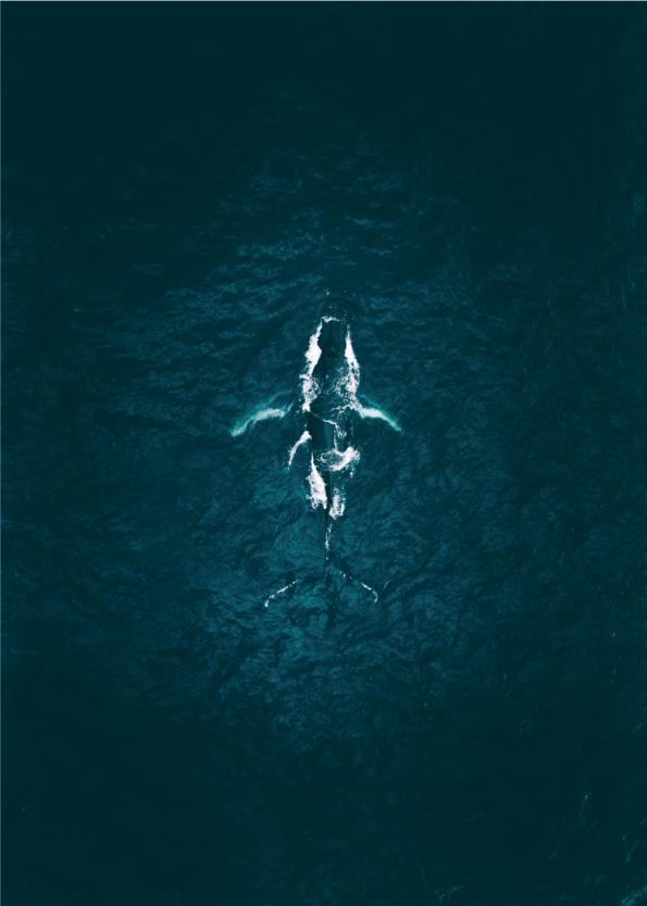 fotoplakat af spækhugger i det blå hav