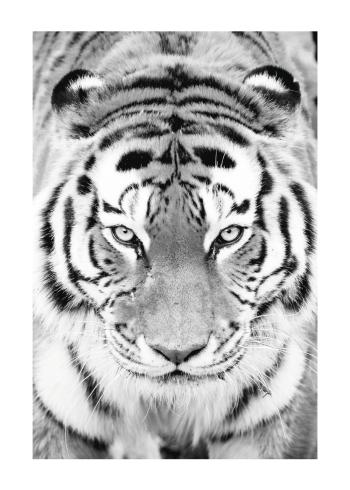 Tiger plakat
