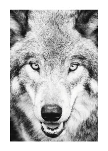 plakat med ulv