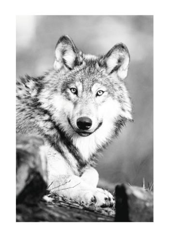 ulve plakat i sort hvid farver