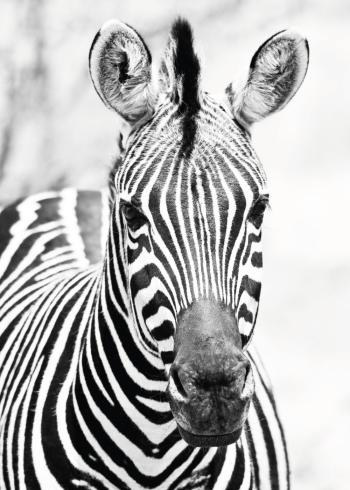 Plakater med zebraer i sort hvid farver