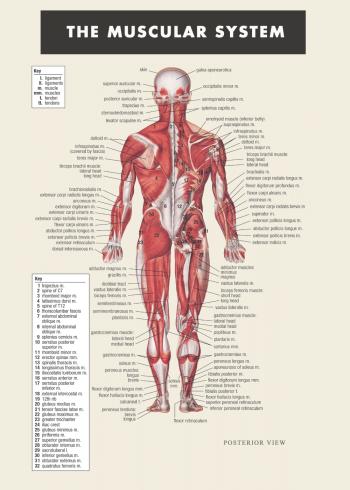 Fysiologi og muskel plakat med kroppen og dens muskler