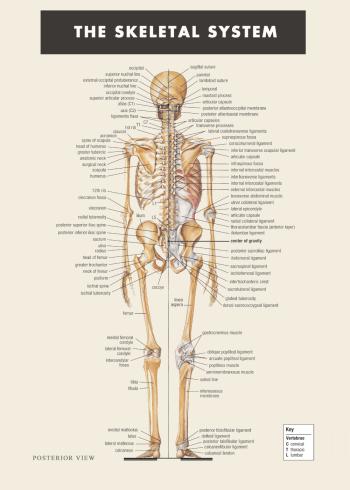 Skelet anatomi plakat med forklaringer