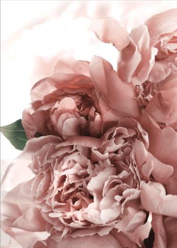 smukke pæoner med romantisk stemning