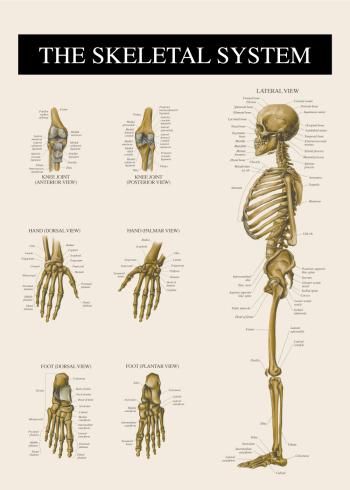 anatomi plakat med knoglerne i kroppen