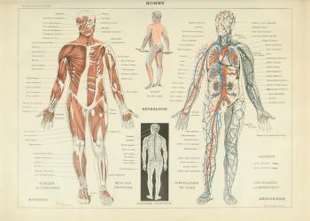 Plakat med kroppen og dens nervesystem