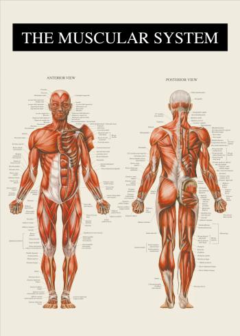 anatomi plakater med alle musklerne