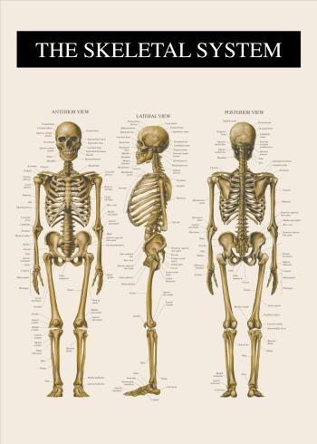 skelet plakat med front, bag og fra siden