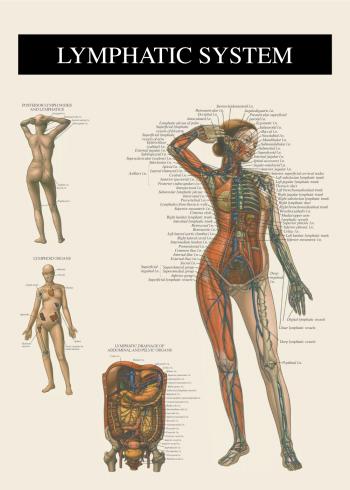 anatomi plakat med lymfe systemet
