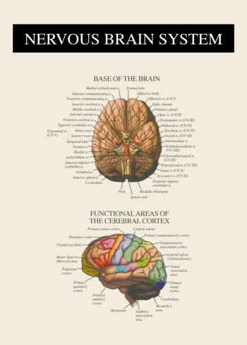 nervesystemet af hjernen anatomi plakat
