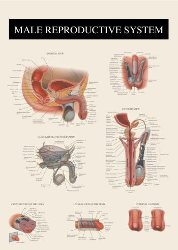 anatomi plakat af manden penis