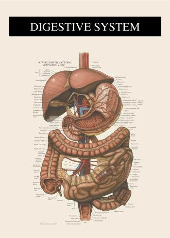fordøjelse systemet anatomi plakat