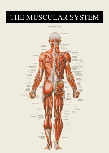 anatomi plakat med muskulaturen bagfra