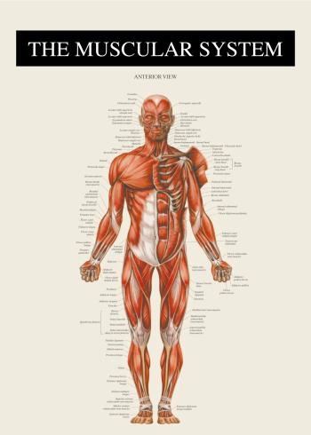 anatomi plakat med muskulaturen