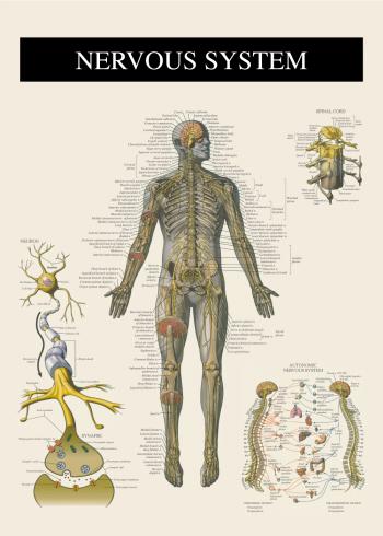 plakat med nervesystemet
