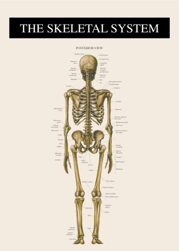 skelettet bagfra på plakat