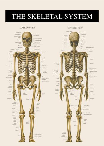 anatomi plakat af skelettet for- og bagfra