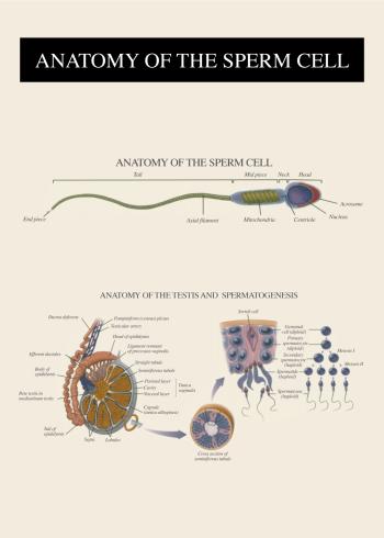 anatomi plakat af sædseller og befrugtning