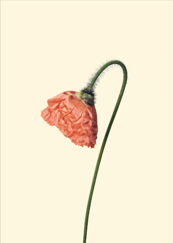 retro plakat af plante af rød valmue med gul baggrund