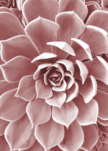 Fotoplakat af lyserød sukkulent close-up