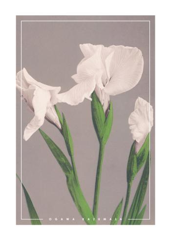 japanske fotokunst plakater med hvide iris