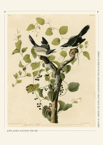 Birds of america plakat af John James Audubon, med to fugle siddende på hver sin gren